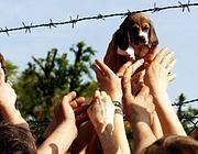 Un beagle liberato (Fotogramma/Bs)