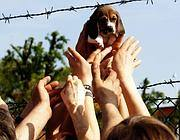 I beagle liberati a Green Hill (foto Ansa)