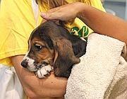 Uno dei cuccioli salvati da Green Hill (Ansa)