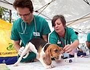 Un beagle liberato da Green Hill (Fotogramma)