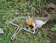 Un pettirosso ucciso in una trappola