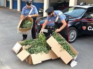 Coltivano marijuana sulle rive del fiume Oglio: scoperti dai Carabinieri