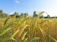 Brescia, dietro la Caffaro cereali senza Pcb: si può tornare a coltivare