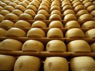 Latte contaminato con aflatossine, prima condanna a Brescia